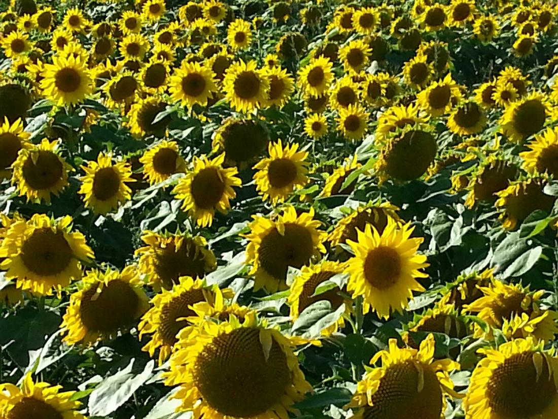 Taken in a field of sunflowers - fall 2014
